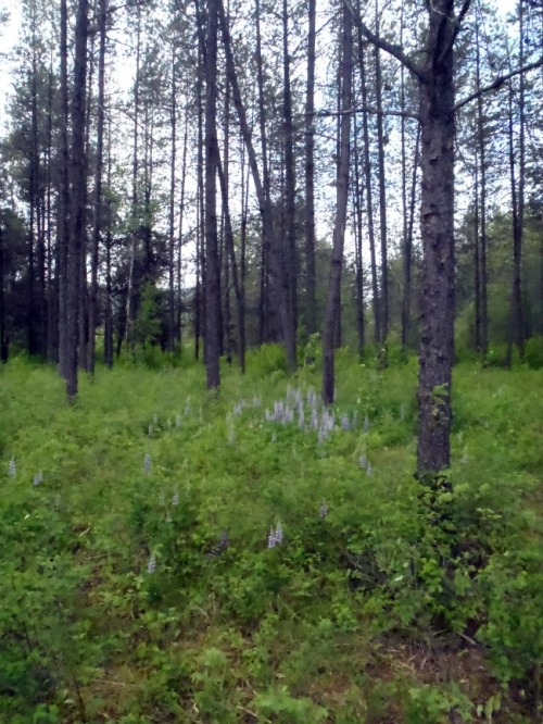 Idaho - Dover Bay trees
