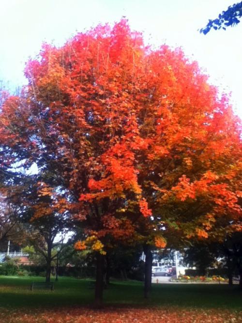 Toronto - autumn leaves