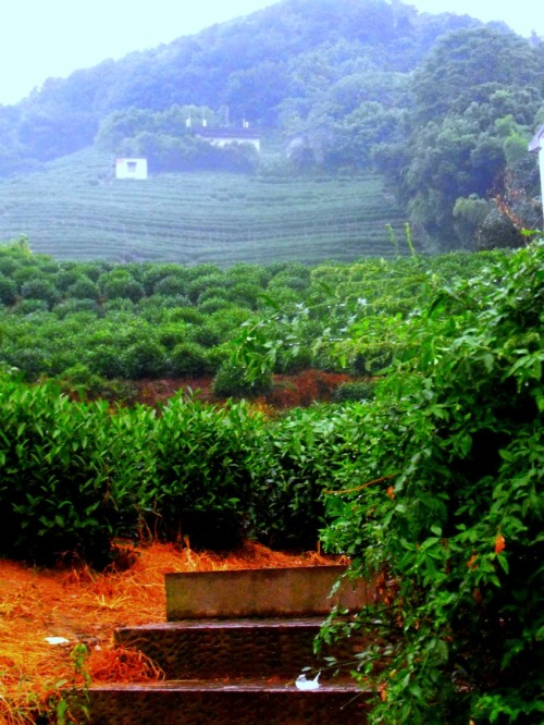 China - Hangzhou green tea fields