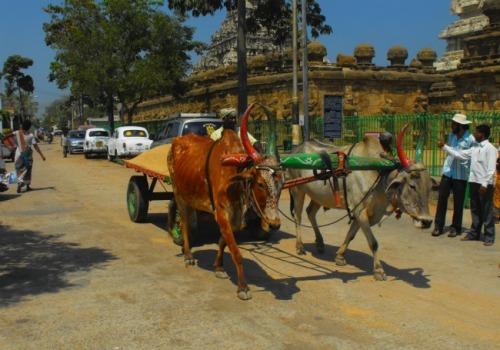 India - Chennai cows