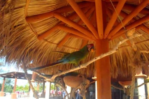 Mexico - Ixtapa parrot