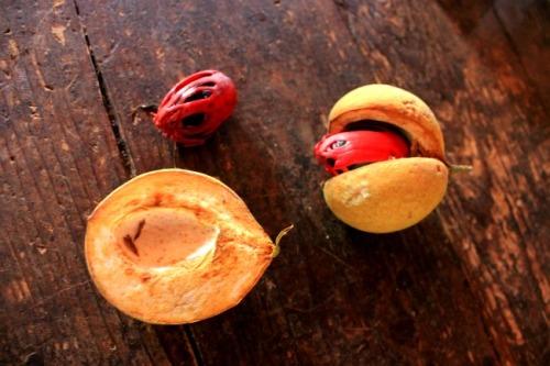 Grenada - nutmeg