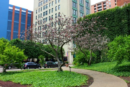 Pittsburgh - Magnolias for Pittsburgh