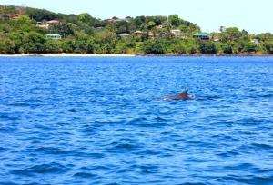 Tobago - dolphin