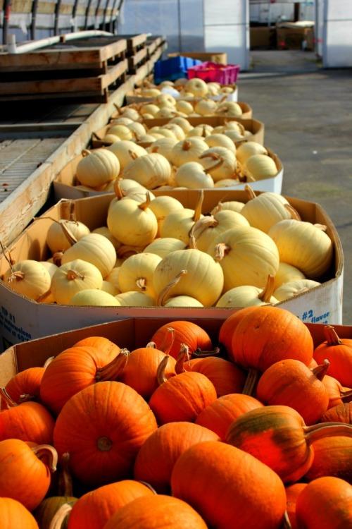 Vancouver - Delta pumpkins
