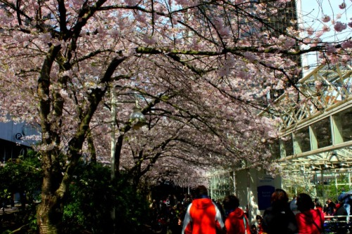 Vancouver - cherry blossoms