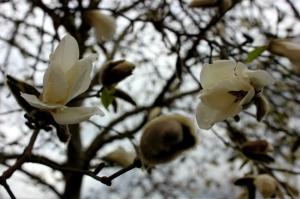Vancouver - magnolia