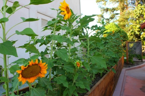 California - Paso Robles sunflowers