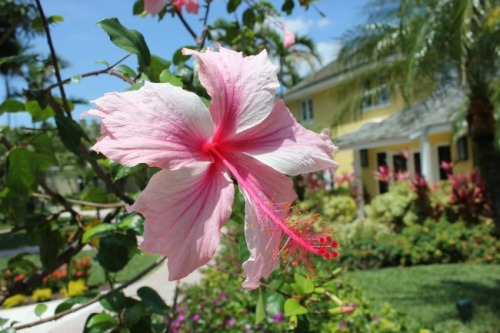 Bahamas - hibiscus
