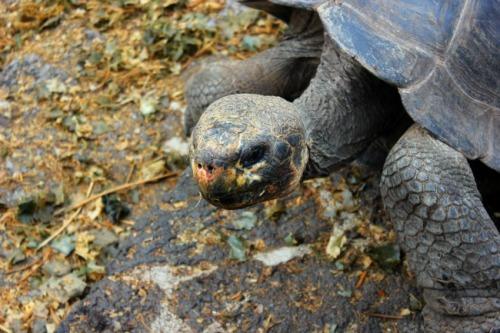 Ecuador - Galapagos tortoise