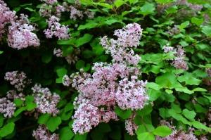 Toronto - pretty lilacs