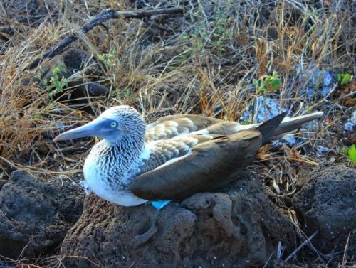 Ecuador - Galapagos blue footed booby