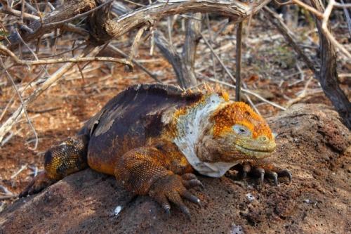 Ecuador - Galapagos land iguana