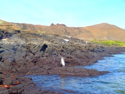 Ecuador - Galapagos penguin