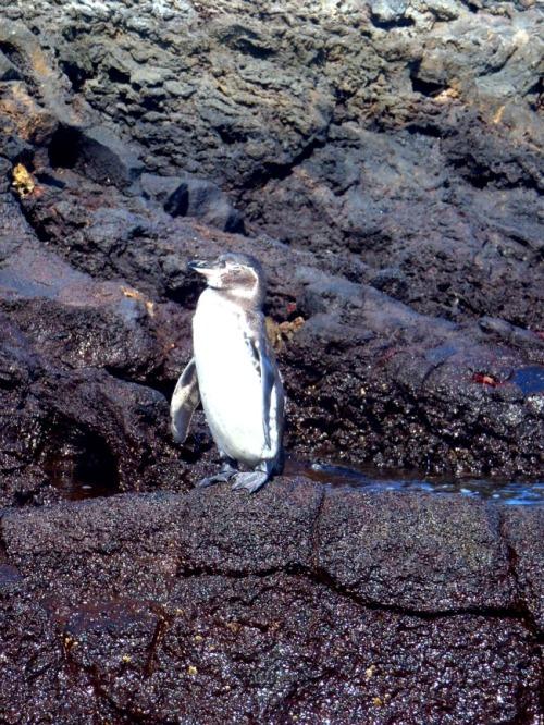 Ecuador - Galapagos penguin close up