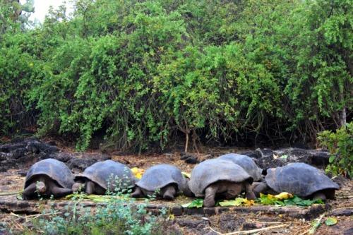 Ecuador - Galapagos tortoises