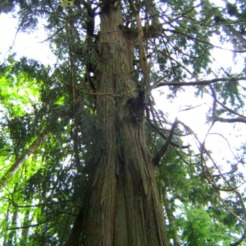 old growth tree in BC