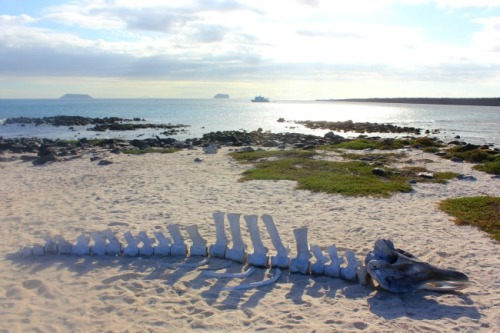 Ecuador - Galapagos whale skeleton