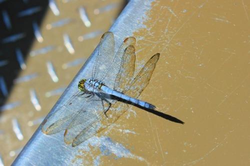Louisiana - bayou dragonfly