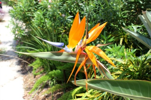 New Orleans - bird of paradise