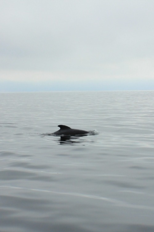 NS - Pleasant Bay pilot whale