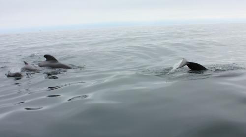 NS - pilot whales