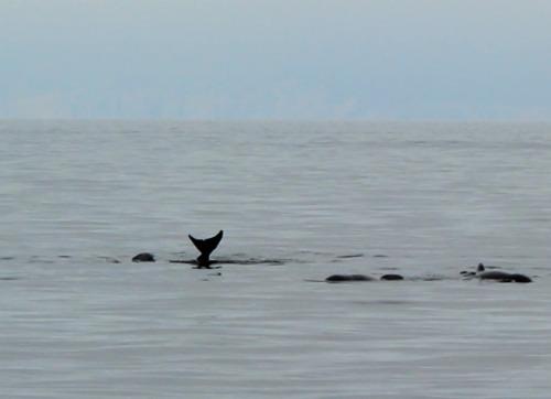 NS - PB whale tail