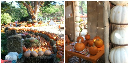 Dallas - Botanical Gardens pumpkin patch