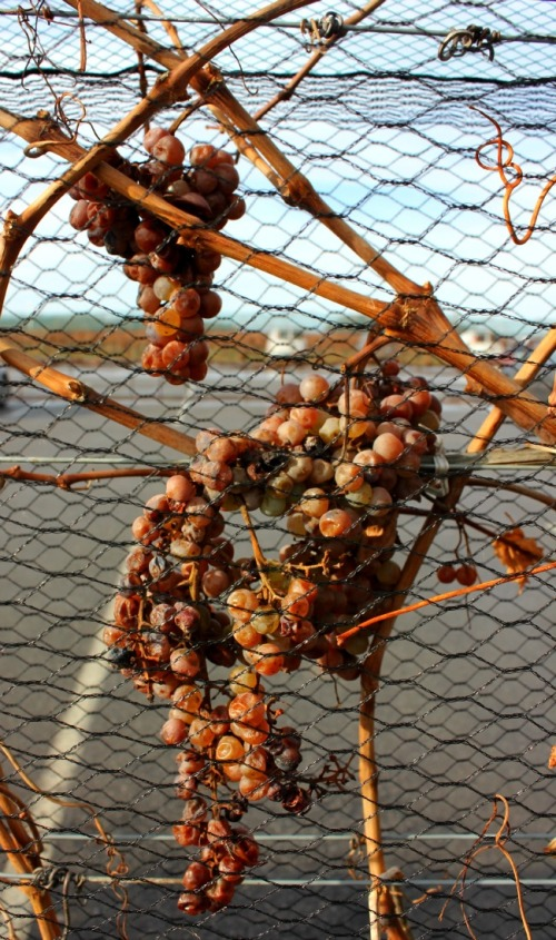 Niagara - ice wine grapes