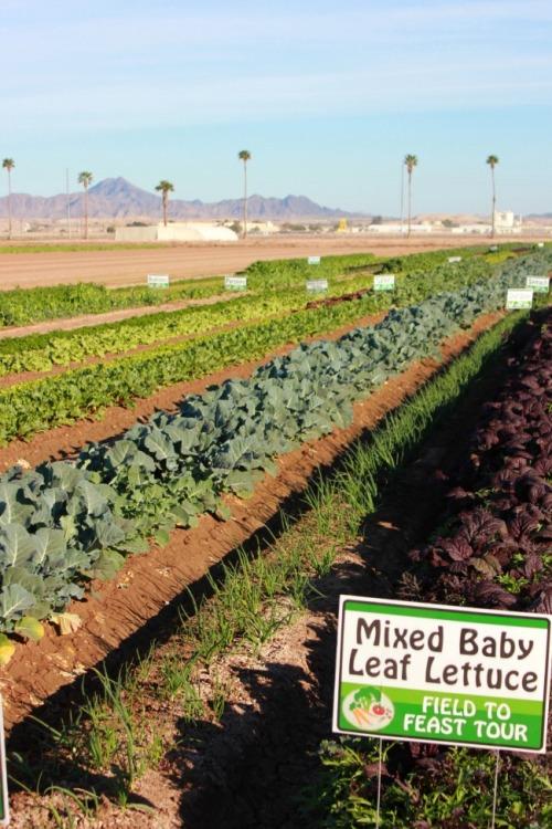 Arizona - Yuma lettuce