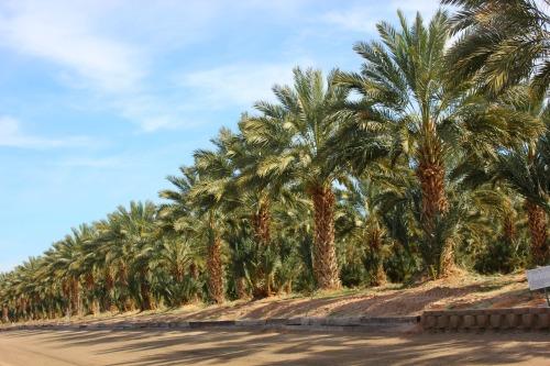 Arizona - Yuma Martha date farm