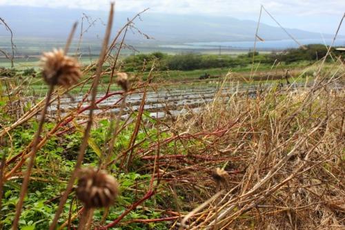 Maui - taro farm
