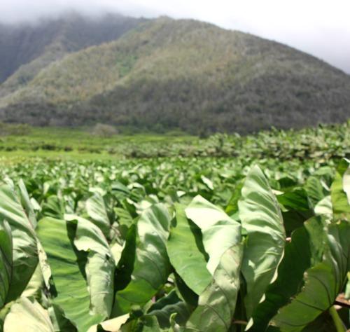 Maui - taro plants