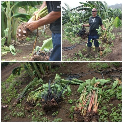 Maui - taro examples