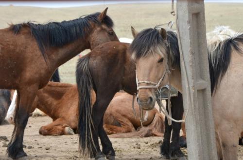 China - Inner Mongolia pony