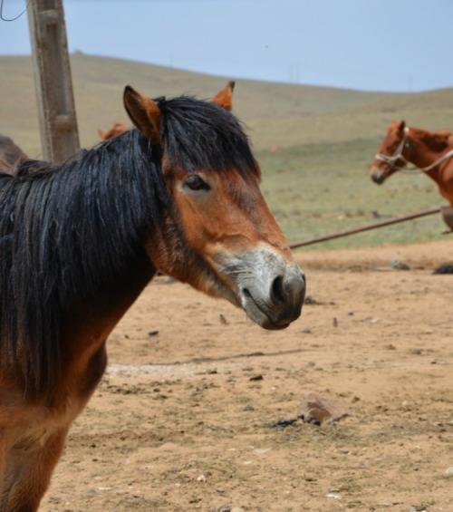China - Mongolian horses