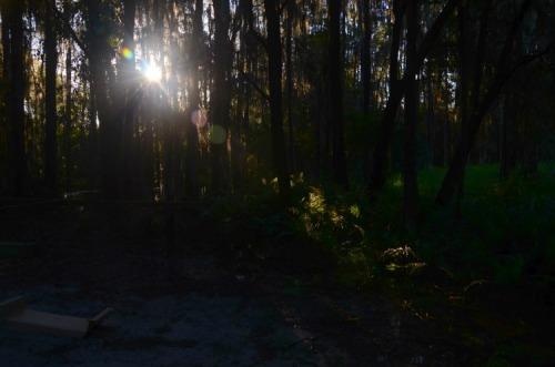 Florida - Shingle Creek cyprus